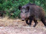 Batuda de porcs senglars a l'Ametlla del Vallès